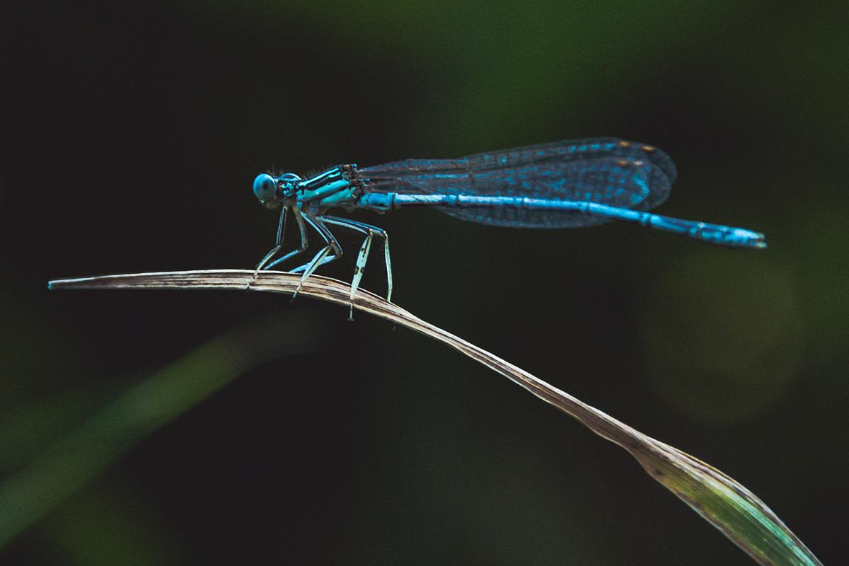 Schwierig zu fotografieren: Insekten, die auf Grashalmen schaukeln