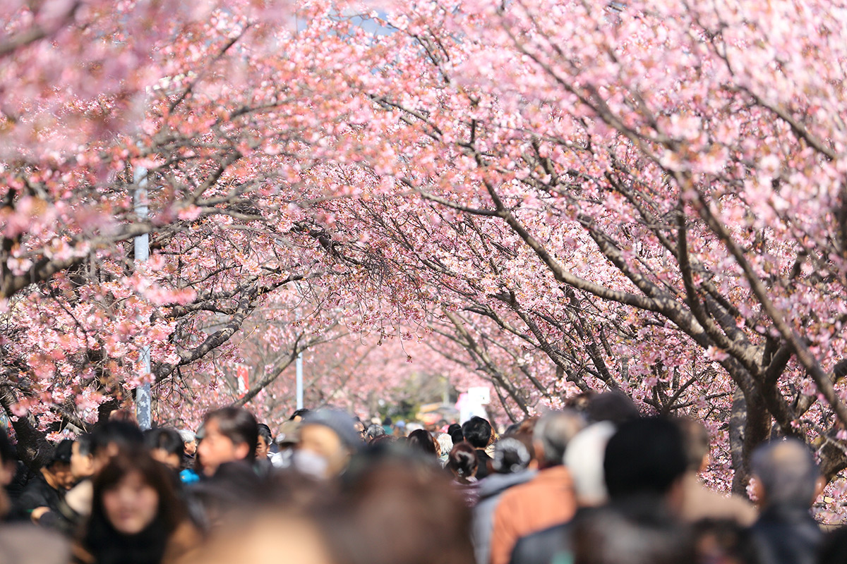 Die Kirschblüte in Japan - Inbegriff des Frühlings